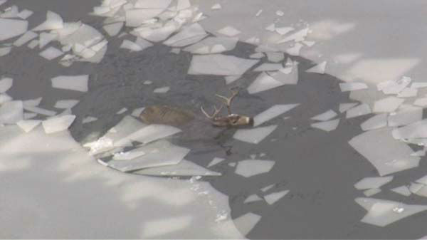 "<div class=""meta image-caption""><div class=""origin-logo origin-image ""><span></span></div><span class=""caption-text"">Emergency crews from the Tri-State Fire Protection District braved icy waters to try to save a deer that fell through thin ice in Willow Springs, Ill.  (WLS/ Chopper 7)</span></div>"