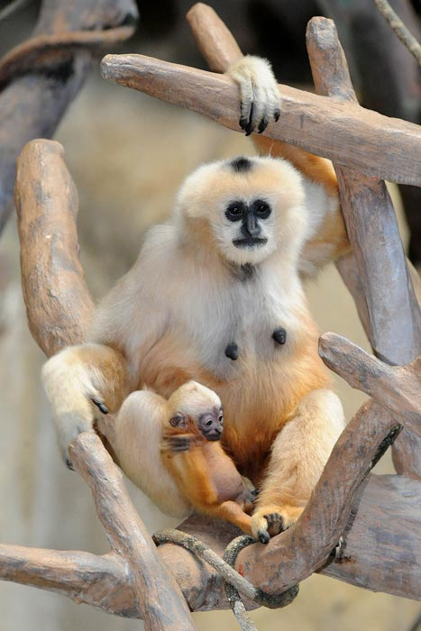 "White-cheeked gibbon infant born at Brookfield Zoo on November 15. He is pictured with his 23-year-old mother, ""Indah."" (Jim Schulz/Chicago Zoological Society)"