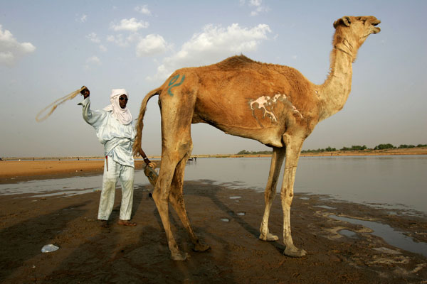 8: N&#39;Djamena: A Chadian man tries to persuade his camel to cross the Chari River in the capital city of N&#39;djamena, Wednesday, April 26, 2006. <span class=meta>( AP Photo&#47;Karel Prinsloo)</span>