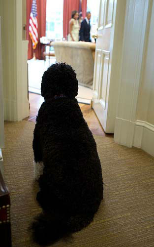 Aug. 30, 2013: Seemingly trying to catch a look, Bo, the Obama family dog, sits outside the Oval Office as the President and First Lady participated in a promotion ceremony  <span class=meta>(Official White House Photo by Pete Souza)</span>