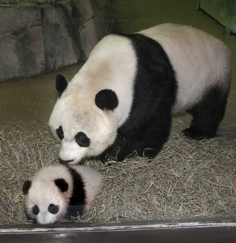 This photo released by the Smithsonian Institution&#39;s National Zoo shows the Zoo&#39;s giant panda mother Mei Xiang checking her cub, Tai Shan, after his ninth physical exam Friday, Oct. 21, 2005.    <span class=meta>(AP Photo&#47;Jessie Cohen, Smithsonian Institution)</span>