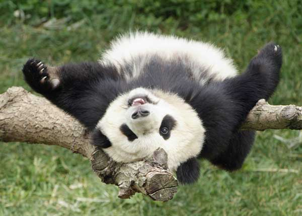 In this photograph provided by the National Zoo, Tai Shan, the National Zoos giant panda cub, plays in a tree at his home at the zoo Friday, June 9, 2006, just before his first birthday.  <span class=meta>(AP Photo&#47;Smithsonian Institution, Ann Batdorf)</span>