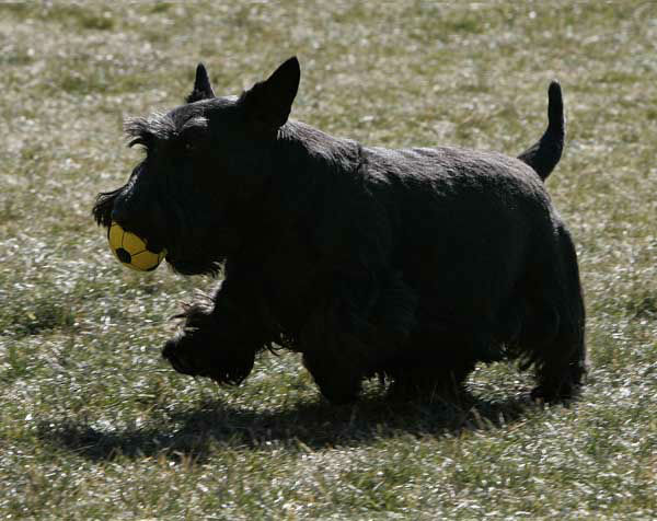 President Bush&#39;s dog Barney frolics on the South Lawn of the White House in Washington, Tuesday, Feb. 6, 2007, as he waits for the president&#39;s return from a trip to Virginia. &#40;AP Photo&#47;Ron Edmonds&#41; <span class=meta>(AP Photo&#47; RON EDMONDS)</span>