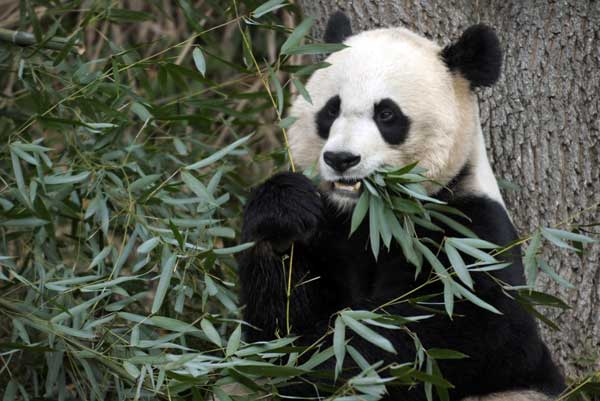Mei Xiang, the female giant panda at the Smithsonian&#39;s National Zoo in Washington, eats breakfast Monday, Dec. 19, 2011.  The zoo&#39;s current two pandas, Tian Tian and Mei Xiang, arrived in December 2000. <span class=meta>(AP Photo&#47;Susan Walsh)</span>