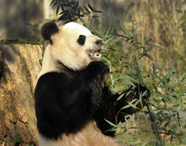 Tian Tian, the male giant panda at the Smithsonian&#39;s National Zoo in Washington, eats breakfast, Monday, Dec. 19, 2011. The zoo&#39;s current two pandas, Tian Tian and Mei Xiang, arrived in December 2000. <span class=meta>(AP Photo&#47;Susan Walsh)</span>