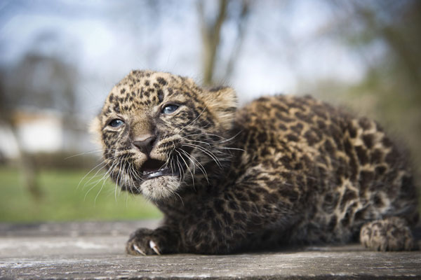 The four weeks old leopard cub Imoo sits at Nyiregyhaza Animal Park in Nyiregyhaza, 227 kms northeast of Budapest, Hungary, Thursday, March 5, 2012. The cub&#39;s name means darkness in Swahili language. Imoo&#39;s parents have lived in the zoo since 2007.  <span class=meta>(AP Photo&#47;MTI, Attila Balazs)</span>