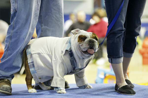 Huckleberry walks on stage before being crowned the winner of the 34th annual Drake Relays Beautiful Bulldog Contest, Monday, April 22, 2013, in Des Moines, Iowa. The bulldog is owned by Steven and Stephanie Hein of Norwalk, Iowa. The pageant kicks off the Drake Relays festivities at Drake University where a bulldog is the mascot. &#40;AP Photo&#47;Charlie Neibergall&#41; <span class=meta>(AP Photo&#47; Charlie Neibergall)</span>