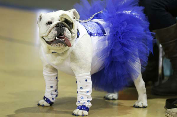 Diva, owned by Danielle Holmes of Ames, Iowa, looks on during the 34th annual Drake Relays Beautiful Bulldog Contest, Monday, April 22, 2013, in Des Moines, Iowa. The pageant kicks off the Drake Relays festivities at Drake University where a bulldog is the mascot. &#40;AP Photo&#47;Charlie Neibergall&#41; <span class=meta>(AP Photo&#47; Charlie Neibergall)</span>