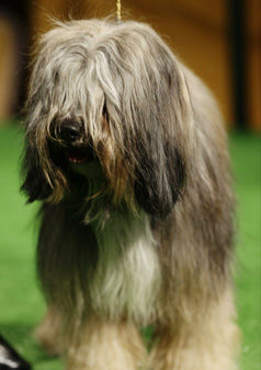 Keaton, a Tibetan terrier, is shown during a press conference to announce the 137th Annual Westminster Kennel Club dog show Thursday, Feb. 7, 2013, in New York. &#40;AP Photo&#47;Frank Franklin II&#41; <span class=meta>(AP Photo&#47; Frank Franklin II)</span>
