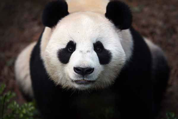 "<div class=""meta ""><span class=""caption-text "">Female Giant Panda ""Jia Jia"", one of two Giant Pandas from China is seen in its enclosure on Monday Oct. 29, 2012 in Singapore. These two Giant Pandas are from China and will be residing at the River Safari Singapore, part of the Wildlife Reserves Singapore's new attraction opening in 2013. This is part of the organization's continuous efforts in boosting tourism and generating public awareness of the world's struggle in preserving its endangered species.(AP Photo/Wong Maye-E) (AP Photo/ Wong Maye-E)</span></div>"