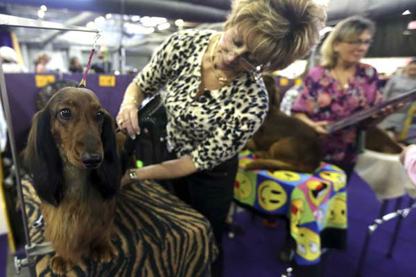Cyndy Geiser, of Lacon, Ill., grooms Campell, a Standard Long Hair Dachshund during the 137th Westminster Kennel Club dog show, Monday, Feb. 11, 2013, in New York. (AP Photo/Mary Altaffer)