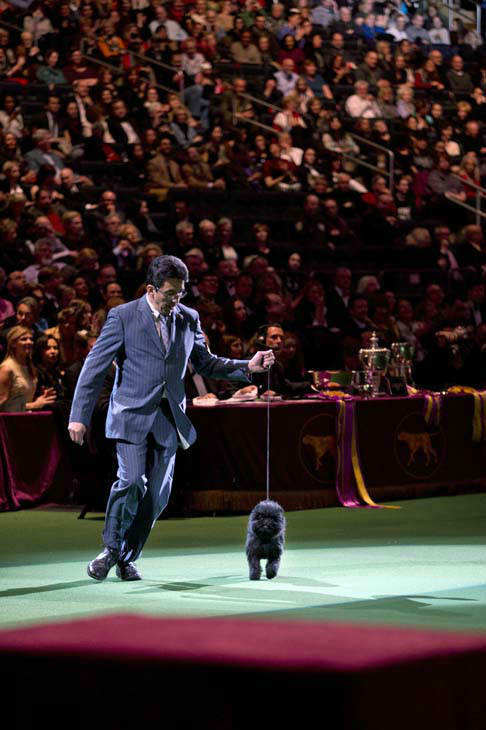 Ernesto Lara shows off Banana Joe, an affenpinscher as they are introduced for Best in Show during the 137th Westminster Kennel Club dog show, Tuesday, Feb. 12, 2013, at Madison Square Garden in New York. &#40;AP Photo&#47;Frank Franklin II&#41; <span class=meta>(AP Photo&#47; Frank Franklin II)</span>