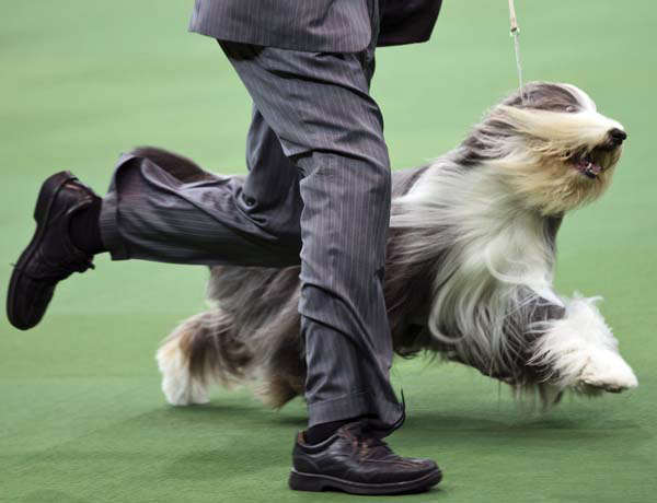 Colton Johnson shows off Swagger, an Old English Sheep Dog, with the herding group during the Westminster Kennel Club dog show, Monday, Feb. 11, 2013, at Madison Square Garden in New York. (AP Photo/Frank Franklin II)