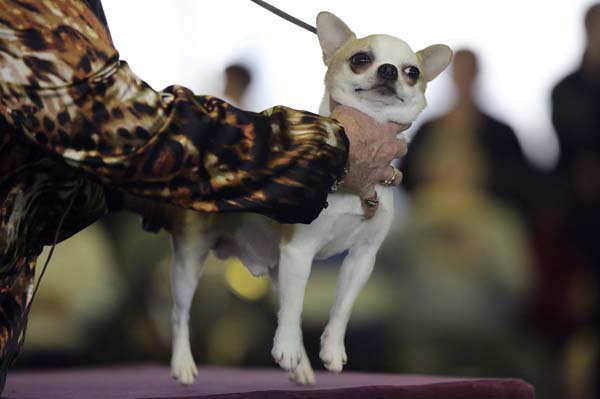 A handler places a smooth coat Chihuahua on the table for inspection during competition at the 137th Westminster Kennel Club dog show, Monday, Feb. 11, 2013 in New York. (AP Photo/Mary Altaffer)