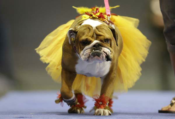 Addie, owned by Lisa Schnathorst of Overland Park, Kansas, walks across stage during the 34th annual Drake Relays Beautiful Bulldog Contest, Monday, April 22, 2013, in Des Moines, Iowa. The pageant kicks off the Drake Relays festivities at Drake University where a bulldog is the mascot. &#40;AP Photo&#47;Charlie Neibergall&#41; <span class=meta>(AP Photo&#47; Charlie Neibergall)</span>