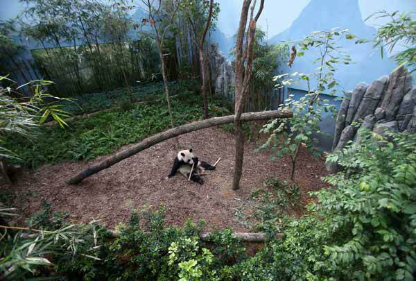 Female Giant Panda &#34;Jia Jia&#34;, one of two Giant Pandas from China is seen in its enclosure on Monday Oct. 29, 2012 in Singapore. These two Giant Pandas are from China and will be residing at the River Safari Singapore, part of the Wildlife Reserves Singapore&#39;s new attraction opening in 2013. This is part of the organization&#39;s continuous efforts in boosting tourism and generating public awareness of the world&#39;s struggle in preserving its endangered species.&#40;AP Photo&#47;Wong Maye-E&#41; <span class=meta>(AP Photo&#47; Wong Maye-E)</span>