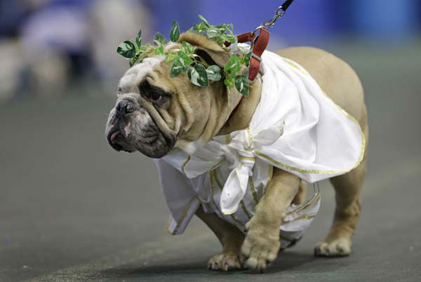 "<div class=""meta ""><span class=""caption-text "">Zeus, owned by Meghan Donnelly, of Cedar Rapids, Iowa, walks in front of the judges during the 34th annual Drake Relays Beautiful Bulldog Contest, Monday, April 22, 2013, in Des Moines, Iowa. The pageant kicks off the Drake Relays festivities at Drake University where a bulldog is the mascot. (AP Photo/Charlie Neibergall) (AP Photo/ Charlie Neibergall)</span></div>"
