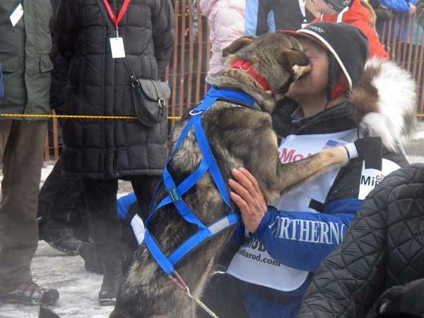 A lead dog licks four-time champion Martin Buser during the ceremonial start of the 2013 Iditarod Trail Sled Dog Race in Anchorage, Alaska on Saturday, March 2, 2013. The race, which will take mushers and dog teams about a thousand miles across the Alaska wilderness, starts Sunday, March 3, 2013, in Willow, Alaska. &#40;AP Photo&#47;Mark Thiessen&#41; <span class=meta>(AP Photo&#47; Mark Thiessen)</span>