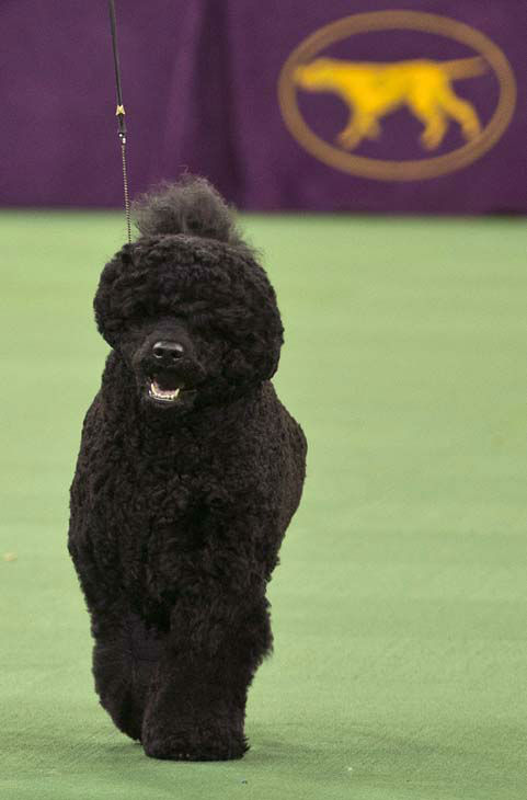 Matisse, a Portuguese water dog and winner of the working group is shown during the 137th Westminster Kennel Club dog show Tuesday, Feb. 12, 2013, at Madison Square Garden in New York.&#40;AP Photo&#47;Frank Franklin II&#41; <span class=meta>(AP Photo&#47; Frank Franklin II)</span>