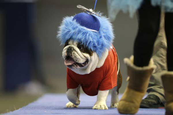 Capone Sabotage, owned by Brad Knudson, of Center Point, Iowa, walks across stage during the 34th annual Drake Relays Beautiful Bulldog Contest, Monday, April 22, 2013, in Des Moines, Iowa. The pageant kicks off the Drake Relays festivities at Drake University where a bulldog is the mascot. &#40;AP Photo&#47;Charlie Neibergall&#41; <span class=meta>(AP Photo&#47; Charlie Neibergall)</span>