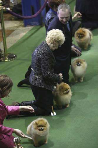 "<div class=""meta ""><span class=""caption-text "">Pomeranians are shown in the ring during the 137th Westminster Kennel Club dog show, Monday, Feb. 11, 2013 in New York. (AP Photo/Mary Altaffer)</span></div>"