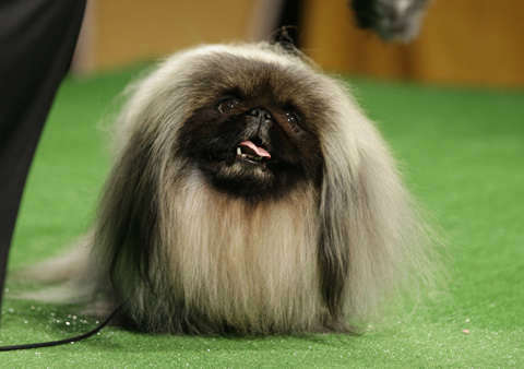 2012 Westminster Kennel Club dog show best in show winner, Malachy, a Pekingese, is shown during a press conference to announce the 137th Annual Westminster Kennel Club dog show Thursday, Feb. 7, 2013, in New York. &#40;AP Photo&#47;Frank Franklin II&#41; <span class=meta>(AP Photo&#47; Frank Franklin II)</span>
