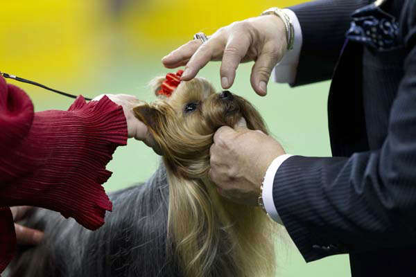 "<div class=""meta ""><span class=""caption-text "">A Yorkshire terrier is judged with the toy group during the Westminster Kennel Club dog show, Monday, Feb. 11, 2013, at Madison Square Garden in New York. (AP Photo/Frank Franklin II)</span></div>"