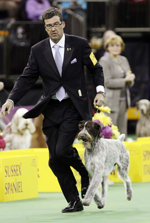 Oakley, a German wirehaired pointer and winner of the Sporting group, is shown during the 137th Westminster Kennel Club dog show, Tuesday, Feb. 12, 2013, at Madison Square Garden in New York. &#40;AP Photo&#47;Frank Franklin II&#41; <span class=meta>(AP Photo&#47; Frank Franklin II)</span>