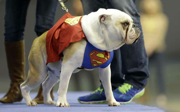 Buster, owned by Tara Walter, of West Des Moines, Iowa, walks on stage during the 34th annual Drake Relays Beautiful Bulldog Contest, Monday, April 22, 2013, in Des Moines, Iowa. The pageant kicks off the Drake Relays festivities at Drake University where a bulldog is the mascot. &#40;AP Photo&#47;Charlie Neibergall&#41; <span class=meta>(AP Photo&#47; Charlie Neibergall)</span>