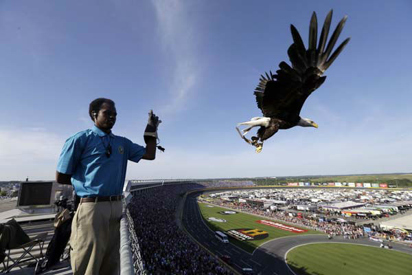 Robert West, curator with the American Eagle Foundation releases an eagle named Challenger prior to the NASCAR Sprint Cup Series Coca-Cola 600 auto race at the Charlotte Motor Speedway in Concord, N.C., Sunday, May 26, 2013. &#40;AP Photo&#47;Gerry Broome&#41; <span class=meta>(AP Photo&#47; Gerry Broome)</span>