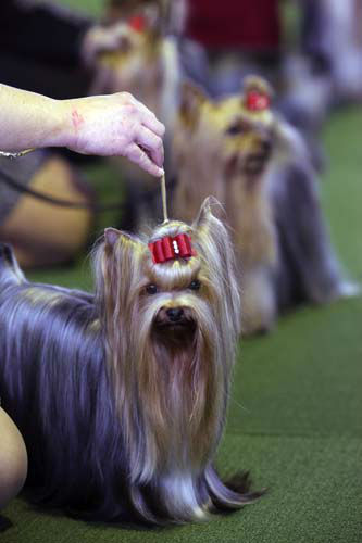 Yorkshire Terrier are shown in the ring during competition at the 137th Westminster Kennel Club dog show, Monday, Feb. 11, 2013 in New York. (AP Photo/Mary Altaffer)