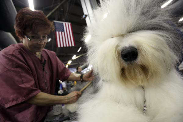 "<div class=""meta ""><span class=""caption-text "">Caroll Geiser, of Rochester, N.Y., grooms Eva, a 3-year-old Old English Sheep dog, during the 137th Westminster Kennel Club dog show, Monday, Feb. 11, 2013, in New York. (AP Photo/Mary Altaffer)</span></div>"