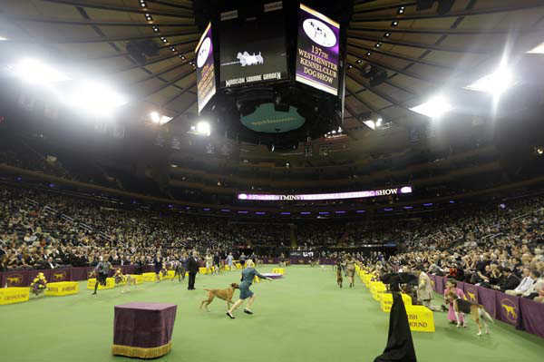 "<div class=""meta ""><span class=""caption-text "">Dogs are shown with the Hound group during the Westminster Kennel Club dog show Monday, Feb. 11, 2013, at Madison Square Garden in New York.(AP Photo/Frank Franklin II)</span></div>"