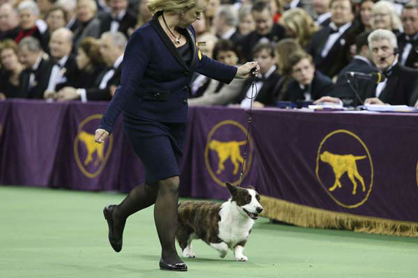 Coco, a Cardigan Welsh corgi, presents in the best in show competition during the Westminster Kennel Club dog show, Tuesday, Feb. 11, 2014, in New York. Sky, a wire fox terrier, won best in show. &#40;AP Photo&#47;John Minchillo&#41; <span class=meta>(Photo&#47;John Minchillo)</span>