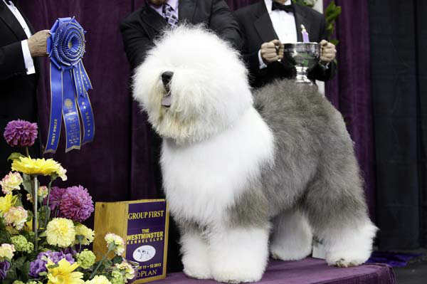 Swagger, an Old English Sheep Dog, is posed for photographs after winning the herding group during the Westminster Kennel Club dog show, Monday, Feb. 11, 2013, at Madison Square Garden in New York. (AP Photo/Frank Franklin II)
