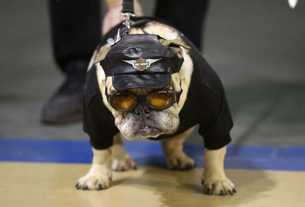 "<div class=""meta ""><span class=""caption-text "">Jazmine Josephine looks on during the 34th annual Drake Relays Beautiful Bulldog Contest, Monday, April 22, 2013, in Des Moines, Iowa. The pageant kicks off the Drake Relays festivities at Drake University where a bulldog is the mascot. (AP Photo/Charlie Neibergall) (AP Photo/ Charlie Neibergall)</span></div>"