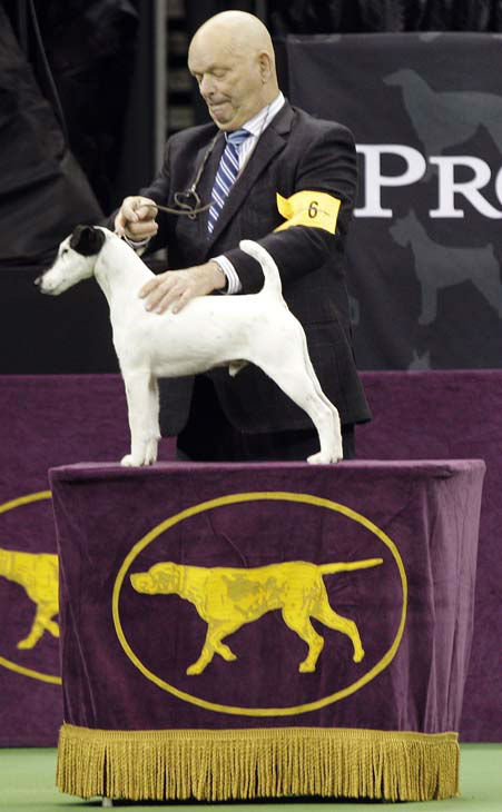 Eddie Boyes shows Adam, a smooth fox terrier and winner of the terrier group, during the 137th Westminster Kennel Club dog show, Tuesday, Feb. 12, 2013, at Madison Square Garden in New York. &#40;AP Photo&#47;Frank Franklin II&#41; <span class=meta>(AP Photo&#47; Frank Franklin II)</span>