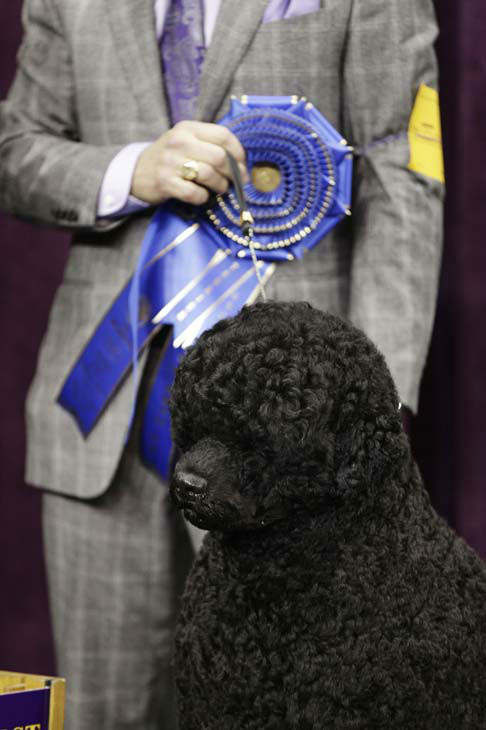 Matisse, a Portuguese water dog and winner of the working group, is shown during the 137th Westminster Kennel Club dog show, Tuesday, Feb. 12, 2013, at Madison Square Garden in New York. &#40;AP Photo&#47;Frank Franklin II&#41; <span class=meta>(AP Photo&#47; Frank Franklin II)</span>