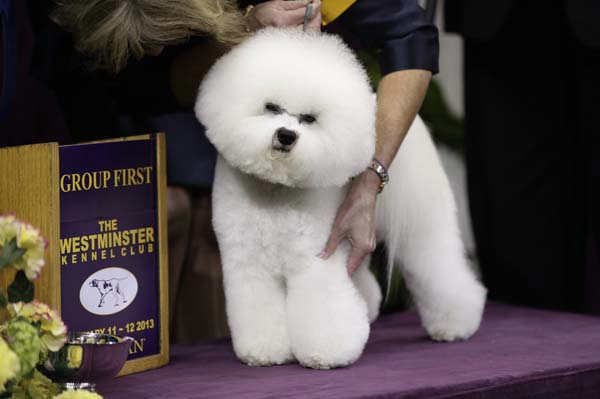 "<div class=""meta ""><span class=""caption-text "">Honor, a Bichon Frise, and winner of the non-sporting group, is held by handler Lisa Bettis during the Westminster Kennel Club dog show Monday, Feb. 11, 2013, at Madison Square Garden in New York.(AP Photo/Frank Franklin II)</span></div>"