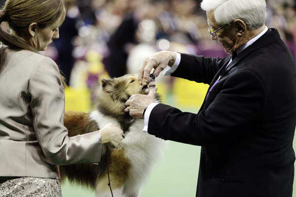 A Shetland sheepdog is judged during the herding group at the Westminster Kennel Club dog show, Monday, Feb. 11, 2013, at Madison Square Garden in New York. (AP Photo/Frank Franklin II)