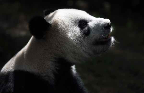 Male Giant Panda &#34;Kai Kai&#34;, one of two Giant Pandas from China is seen in its enclosure on Monday Oct. 29, 2012 in Singapore. These two Giant Pandas are from China and will be residing at the River Safari Singapore, part of the Wildlife Reserves Singapore&#39;s new attraction opening in 2013. This is part of the organization&#39;s continuous efforts in boosting tourism and generating public awareness of the world&#39;s struggle in preserving its endangered species.&#40;AP Photo&#47;Wong Maye-E&#41; <span class=meta>(AP Photo&#47; Wong Maye-E)</span>