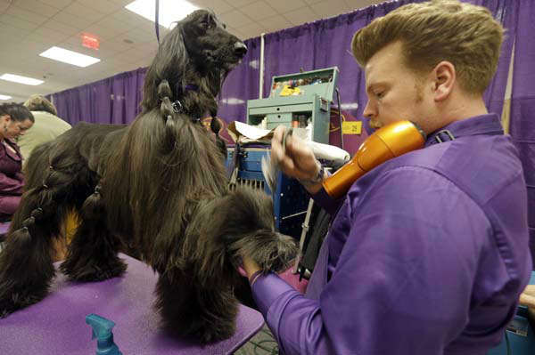 "<div class=""meta ""><span class=""caption-text "">Phil Schafmayer, prepares Rider, an Afghan Hound, before competing in the The Westminster Kennel Club dog show Monday, Feb. 11, 2013, at Madison Square Garden in New York.(AP Photo/Frank Franklin II)</span></div>"