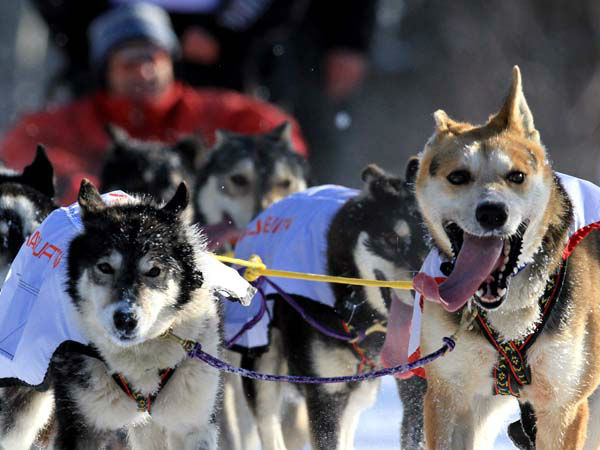 Dogs on the team of Anna Berrington run in the ceremonial start of the Iditarod Trail Sled Dog Race Saturday, March 2, 2013, in Anchorage, Alaska. The competitive portion of the 1,000-mile race is scheduled to begin Sunday in Willow, Alaska. &#40;AP Photo&#47;Dan Joling&#41; <span class=meta>(AP Photo&#47; Dan Joling)</span>