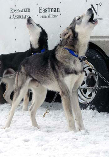 Dogs on the team of musher Scott Janssen howl before the ceremonial start of the Iditarod Trail Sled Dog Race Saturday, March 2, 2013, in Anchorage, Alaska. The competitive portion of the 1,000-mile race is scheduled to begin on Sunday in Willow, 50 miles to the north. &#40;AP Photo&#47;Rachel D&#39;Oro&#41; <span class=meta>(AP Photo&#47; Rachel D&#39;Oro)</span>