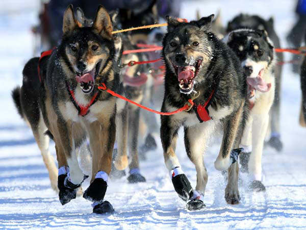 Lead dogs on the team of Louie Ambrose run during the ceremonial start of the Iditarod Trail Sled Dog Race Saturday, March 2, 2013, in Anchorage, Alaska. The competitive portion of the 1,000-mile race is scheduled to begin Sunday in Willow, Alaska. &#40;AP Photo&#47;Dan Joling&#41; <span class=meta>(AP Photo&#47; Dan Joling)</span>