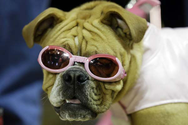 "<div class=""meta ""><span class=""caption-text "">Harley waits to be judged during the 34th annual Drake Relays Beautiful Bulldog Contest, Monday, April 22, 2013, in Des Moines, Iowa. The pageant kicks off the Drake Relays festivities at Drake University where a bulldog is the mascot. (AP Photo/Charlie Neibergall) (AP Photo/ Charlie Neibergall)</span></div>"