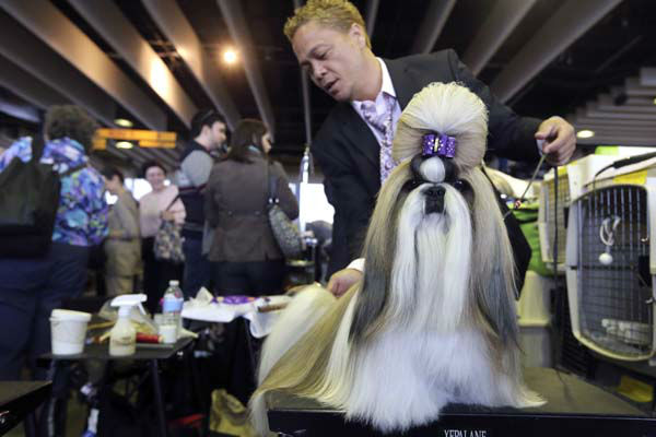 Craig Garcia grooms Fire, a 2-year-old Shih Tzu from Cape Town, South Africa, during the 137th Westminster Kennel Club dog show, Monday, Feb. 11, 2013, in New York. (AP Photo/Mary Altaffer)