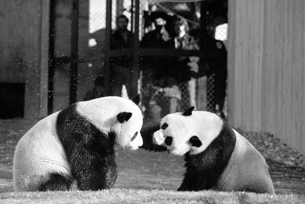In this April 20, 1974 black-and-white file photo, The National Zoo&#39;s giant pandas, Ling-Ling and Hsing-Hsing play in their yard in Washington. The National Zoo is celebrating 40 years of pandas. Monday was the 40th anniversary of the day pandas Hsing-Hsing and Ling-Ling landed at Andrews Air Force Base in Maryland. The pandas were gifts to the United States from China following President Richard Nixon&#39;s historic visit to the country. The pandas were officially presented to the Zoo on April 20, 1972. Ling-Ling lived at the National Zoo until 1992, when she died. Hsing-Hsing died in 1999.  <span class=meta>(AP Photo&#47;Charles Tasnadi, File)</span>