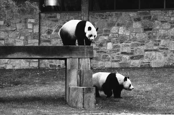 ing-Ling peers down from an elevated walkway at his intended mate Hsing-Hsing at the National Zoo in Washington on one of the days the pandas spent together, May 6, 1975. Zoo officials had hoped the pair would produce the first American-born panda.  <span class=meta>(&#40;AP Photo&#47;Bob Daugherty&#41;)</span>