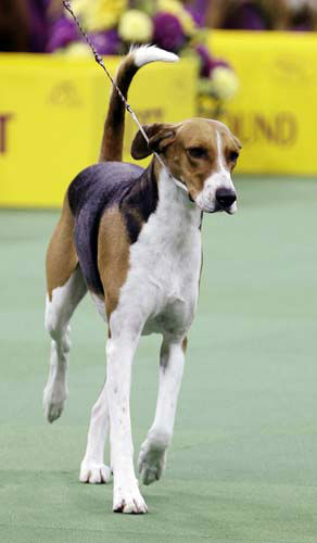 Jewel, an American Foxound, is shown with the hound group during the Westminster Kennel Club dog show, Monday, Feb. 11, 2013, at Madison Square Garden in New York. Jewel won the group and advances to the Best in Show round. (AP Photo/Frank Franklin II)